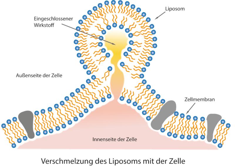 Liposome schützen das Curcumin und schleusen es in die Zielzellen